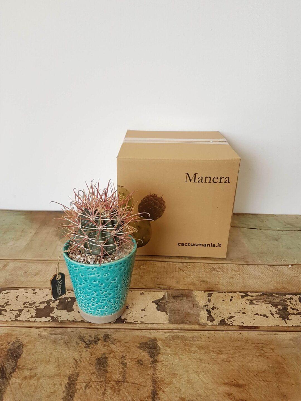 Ferocactus gracilis scatola Linea Manera