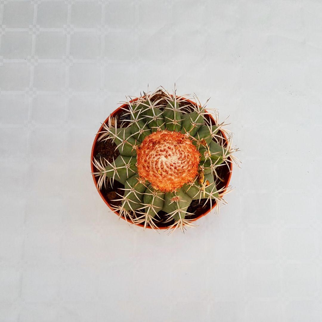 Melocactus bahiensis vaso 16