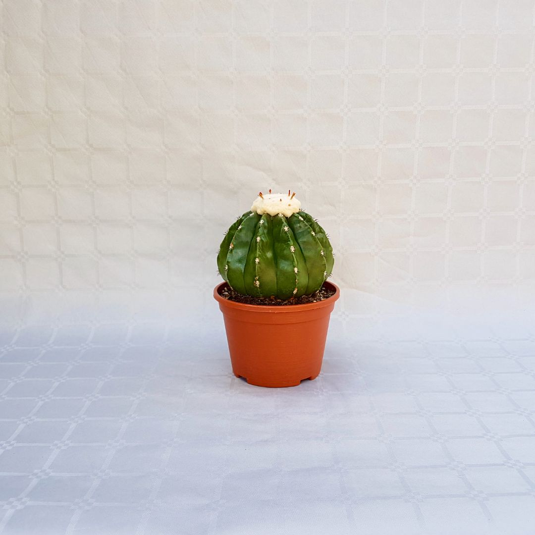 melocactus maxonii inermis vaso 16