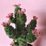 Monadenium ritchei ssp. nymbayense
