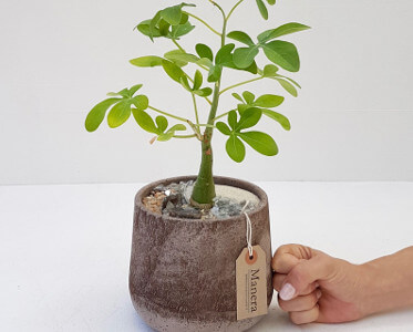 Adenia glauca Linea Manera
