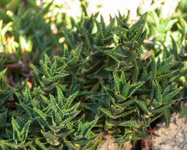 Aloe mitriformis ssp.distans