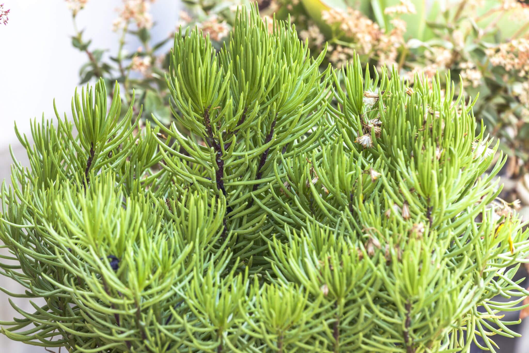Asteraceae Senecio barbertonicus