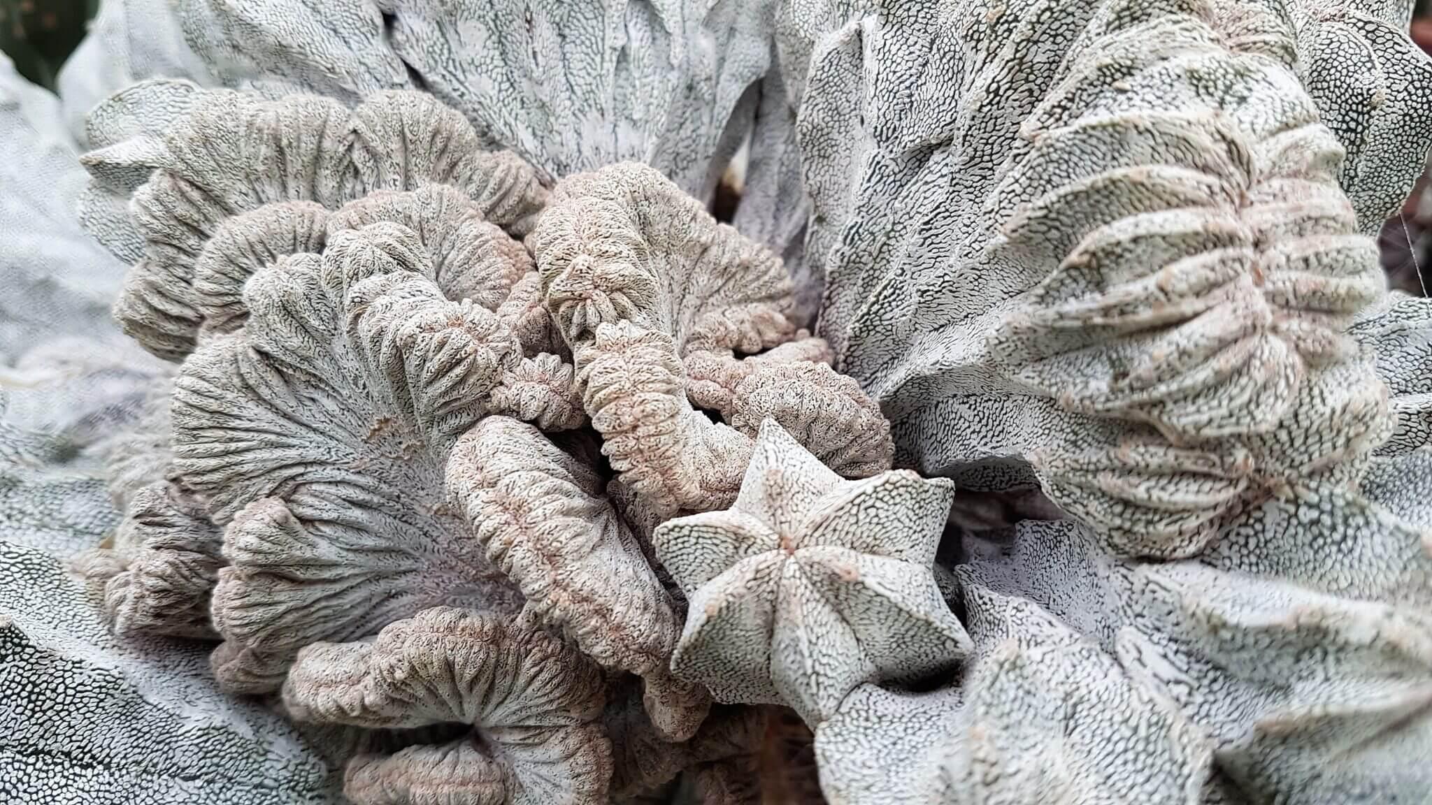 Astrophytum myriostigma cv. Onzuka crestata