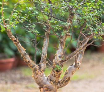 Bursera fagaroides