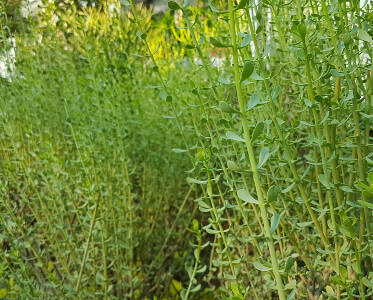 Ceraria fruticosa