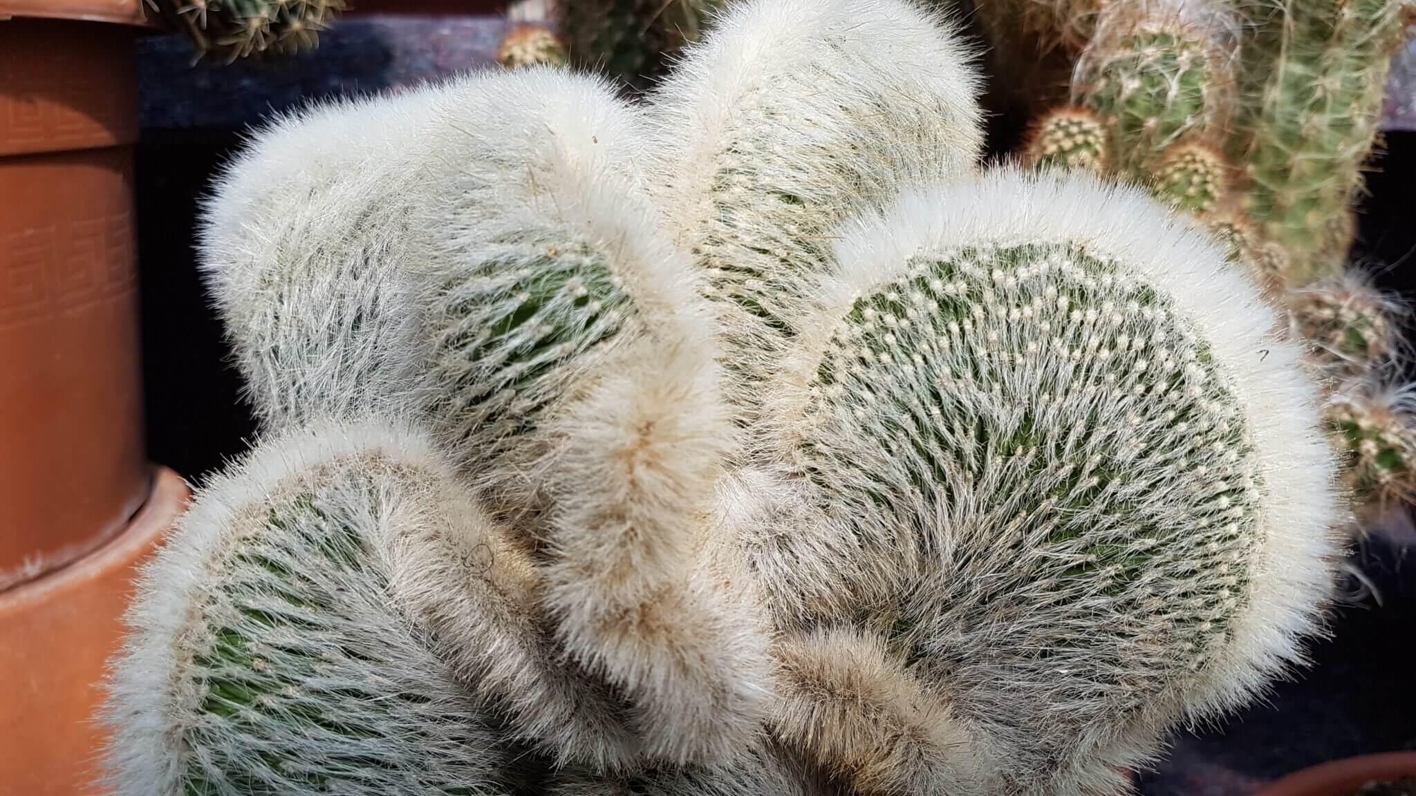 Cleistocactus strausii crestato