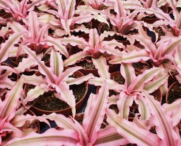 Cryptanthus bivittatus 'Pink Starlight'