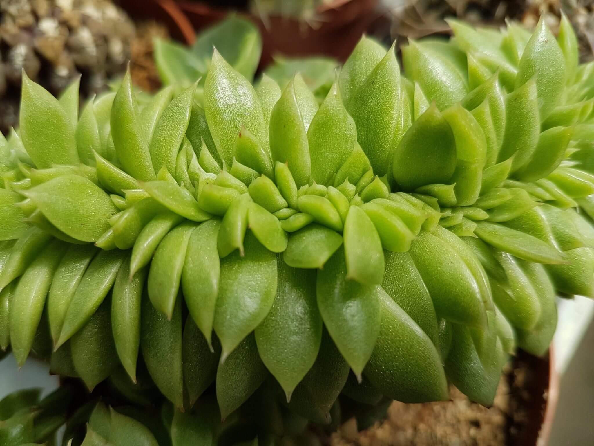 Echeveria agavoides f. crestata