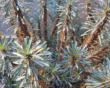 Euphorbia multiflora