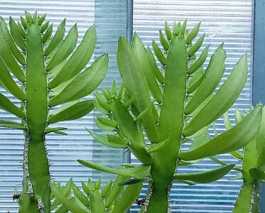 Euphorbia persistentifolia
