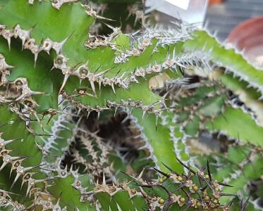Euphorbia restricta