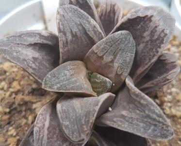 Haworthia hybrid springbovlakensis x truncata x maughanii x emelyae
