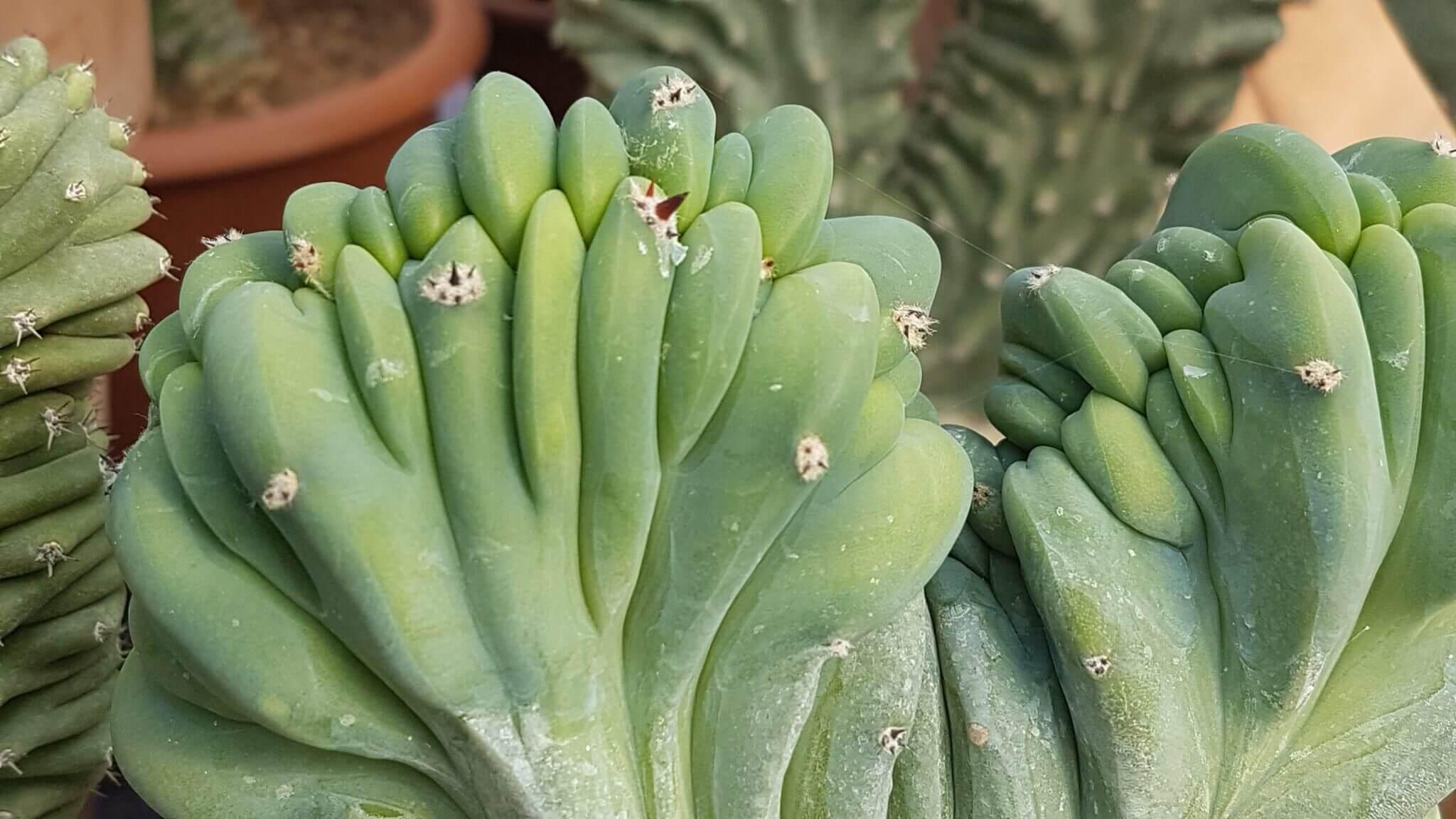 Myrtillocactus geometrizans forma crestata