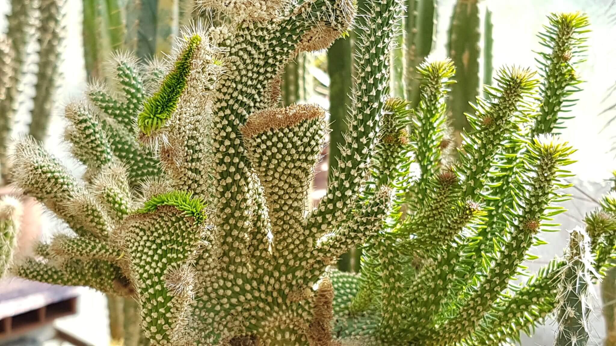 Opuntia spinosior crestata