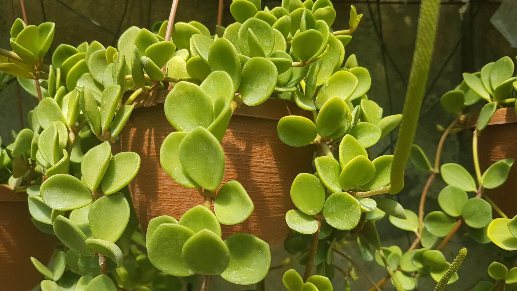 Piperaceae Peperomia sp