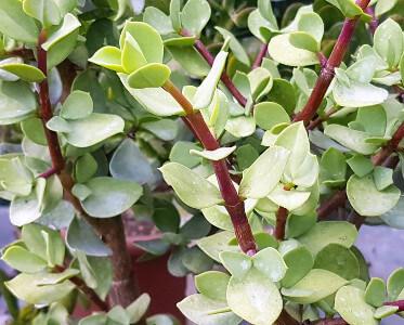 Portulacaria afra 'Big Leaf'