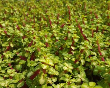 Portulacaria afra follis variegata