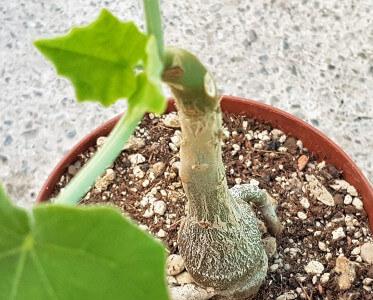 Uncarina ankarensis