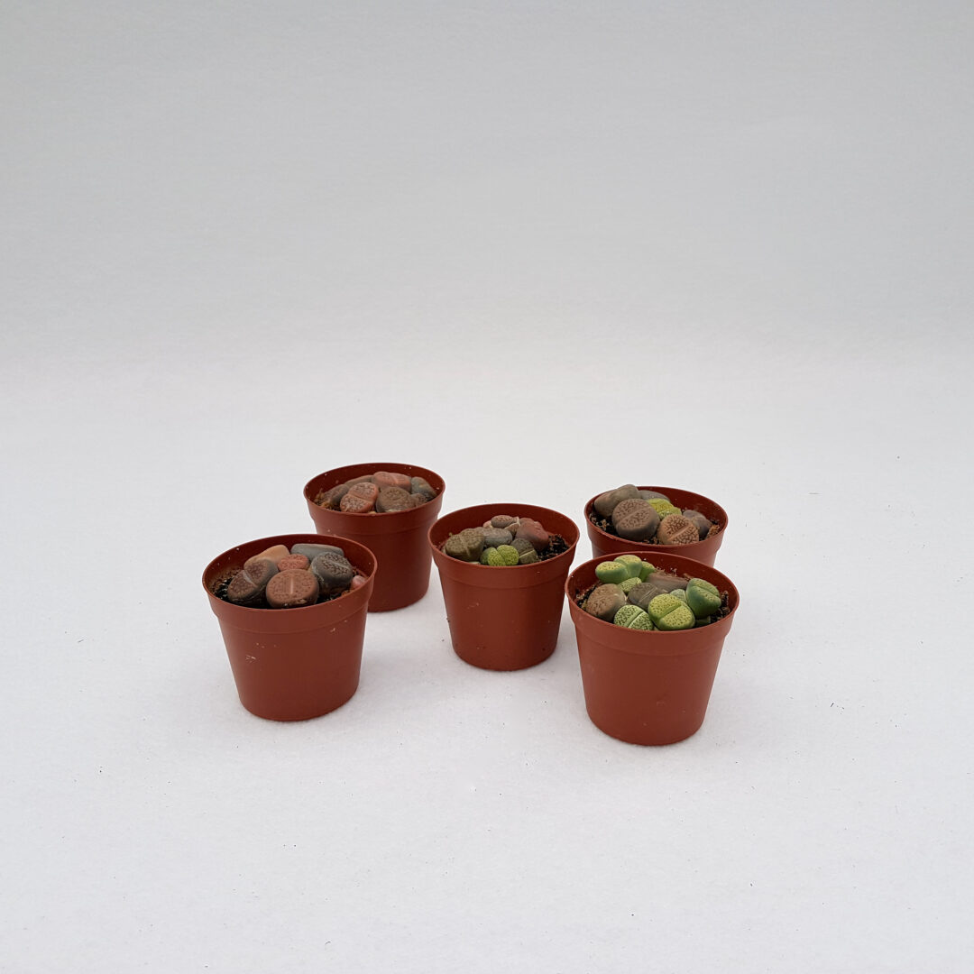 Collezione 5 Lithops sp. vaso 7,5