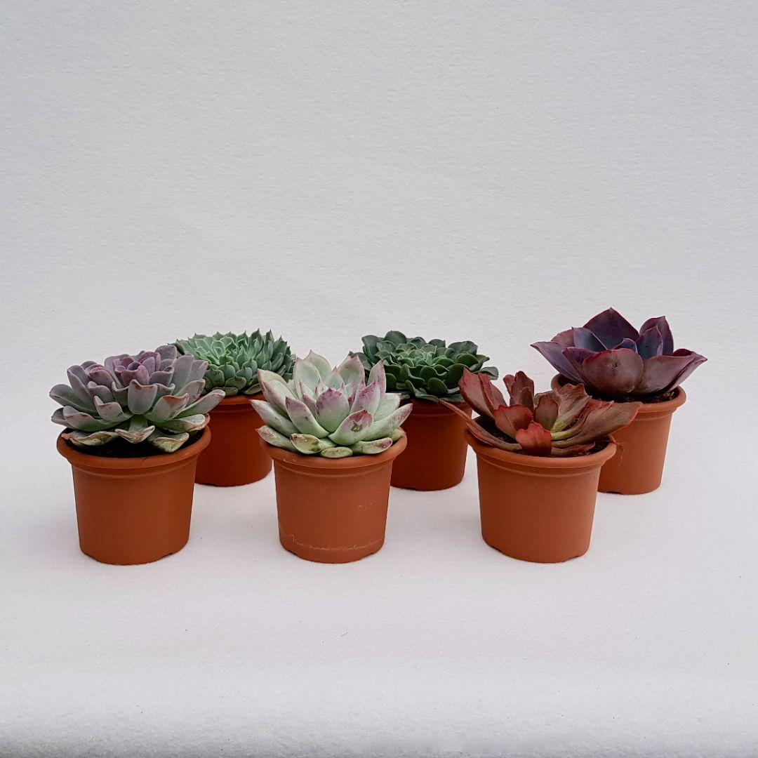 collezione echeveria 6 piante vaso 13-1