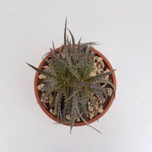 Dyckia hybrid goehringii vaso Ø 25