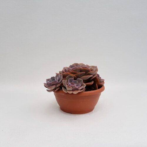 Echeveria dusty rose vaso 25