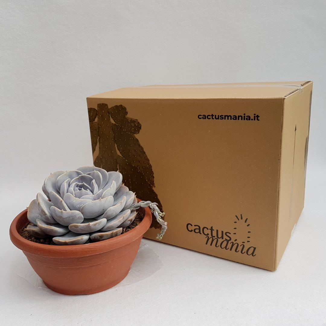 Echeveria lilacina hybrid vaso 25