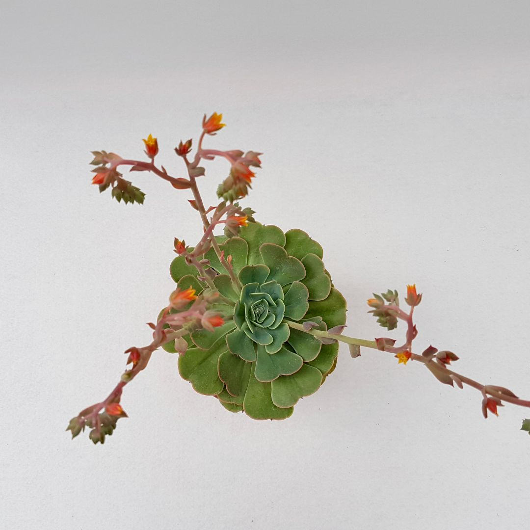 Echeveria love's light vaso 18