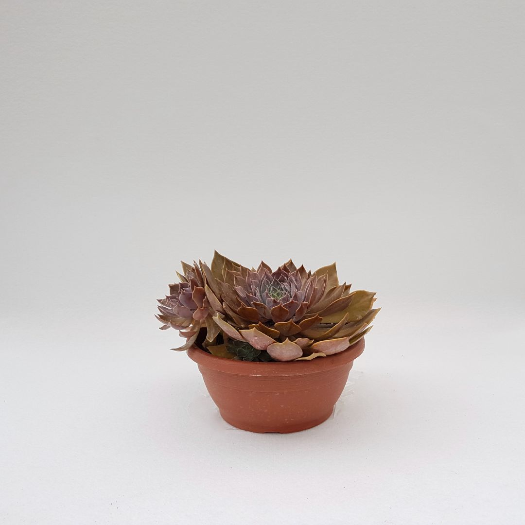 Echeveria rob roy vaso 25