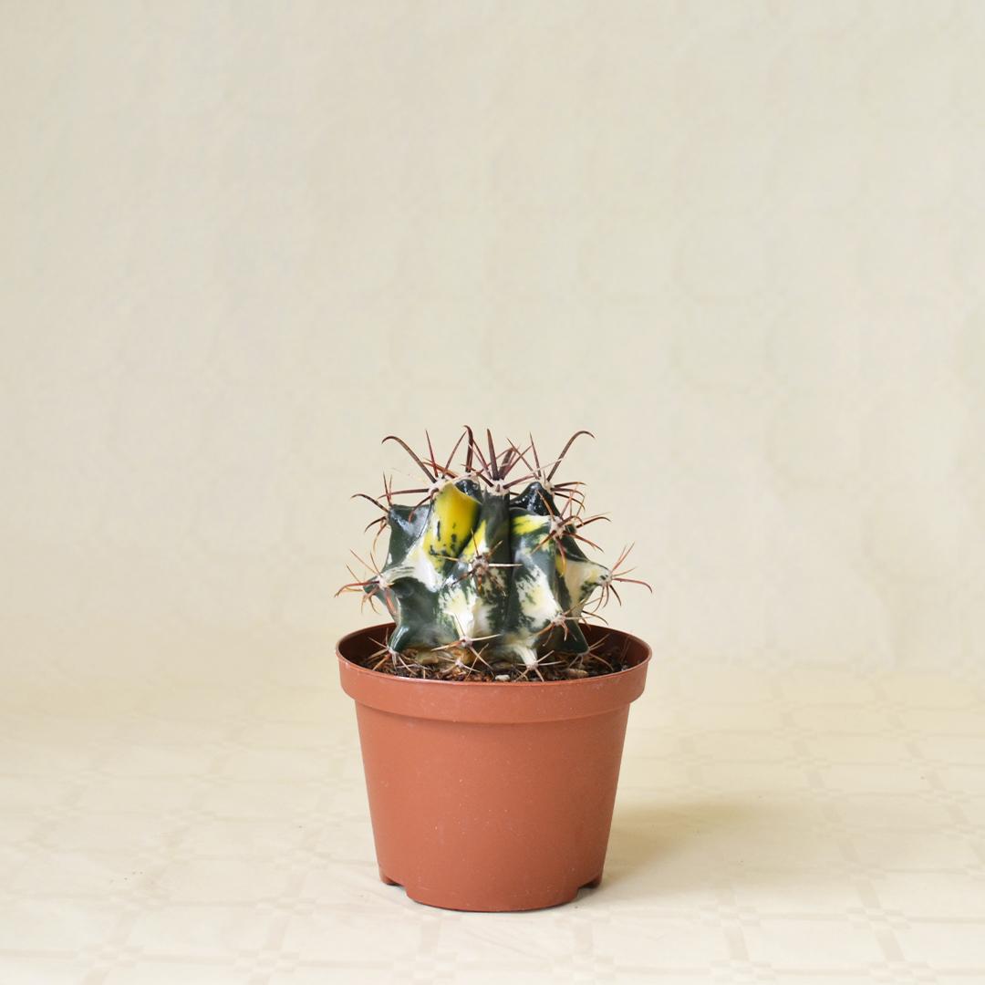 Ferocactus sp. variegato vaso10,5