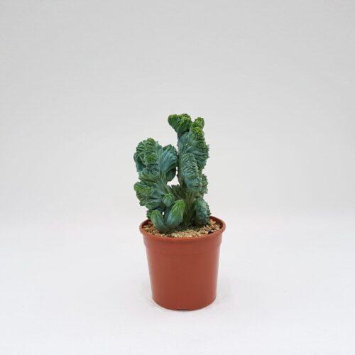Myrtillocactus geometrizans crestato f minor vaso 17