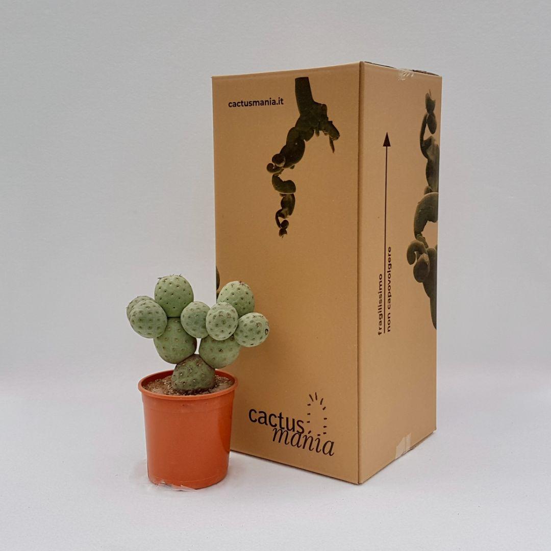 Tephrocactus geometricus 10 palle vaso 17
