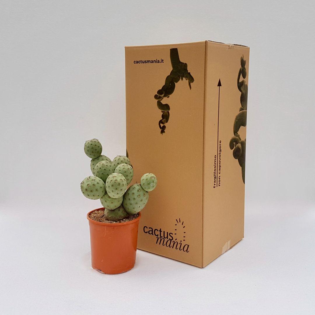Tephrocactus geometricus 12 palle vaso 17