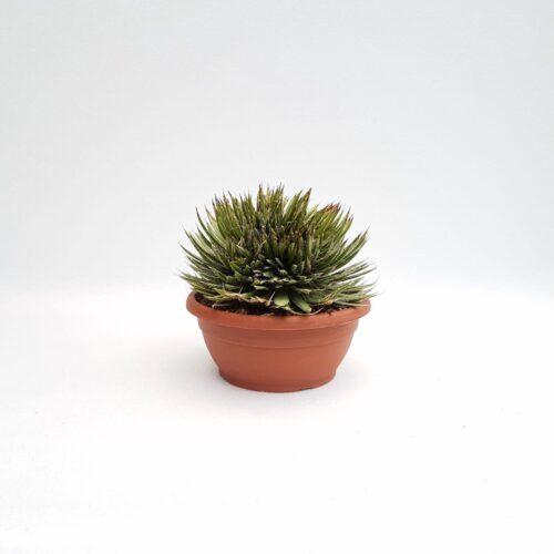 Agave filifera crestata vaso 20
