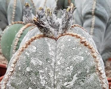 Ariocarpus onzuka quadricostatum