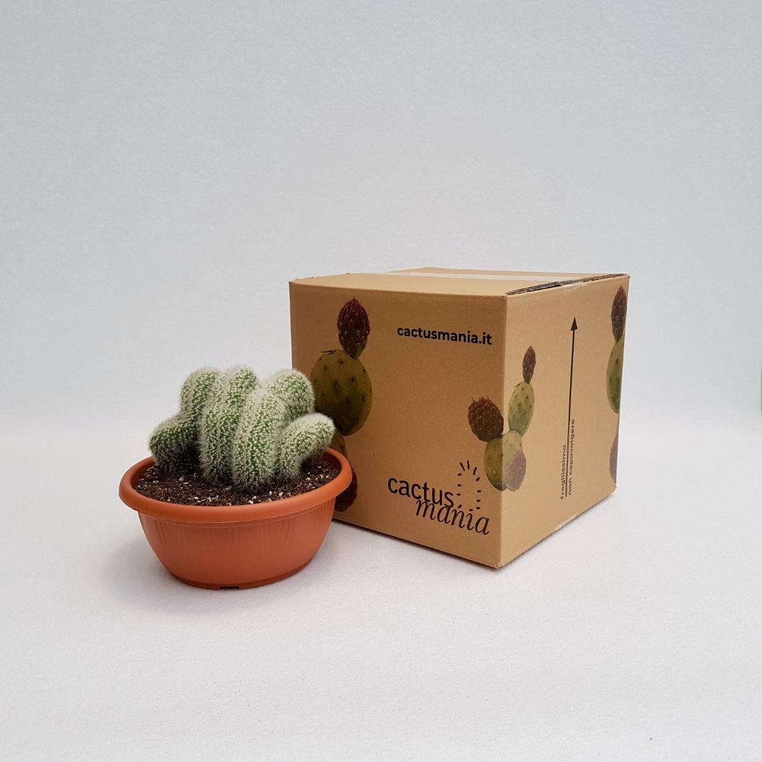 Cleistocactus strausii crestato vaso 20