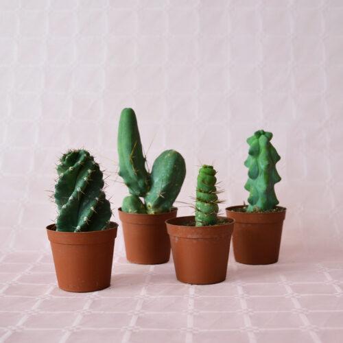 collezione 4 cactaceae vaso 7,5