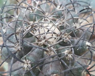 Copiapoa cinerea grisoviolacea