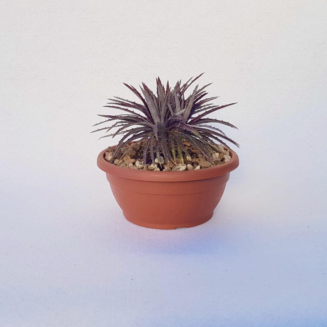dyckia hybrid cabernet vaso 25