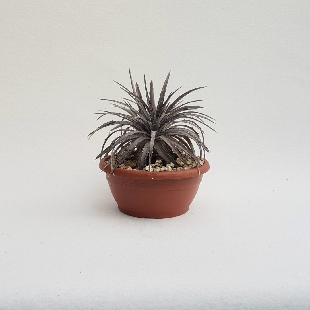 dyckia hybrid hebdingii vaso 25