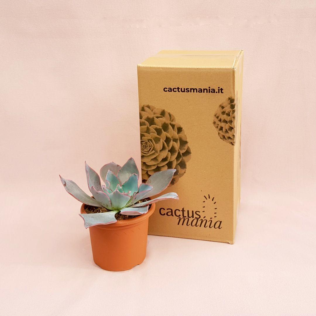 echeveria afterglow vaso 13-4