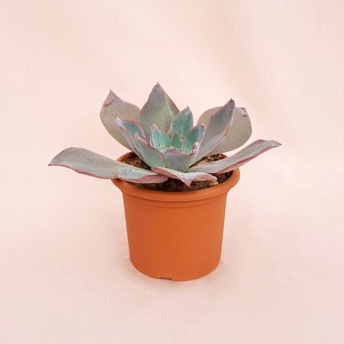 echeveria afterglow vaso 13-1