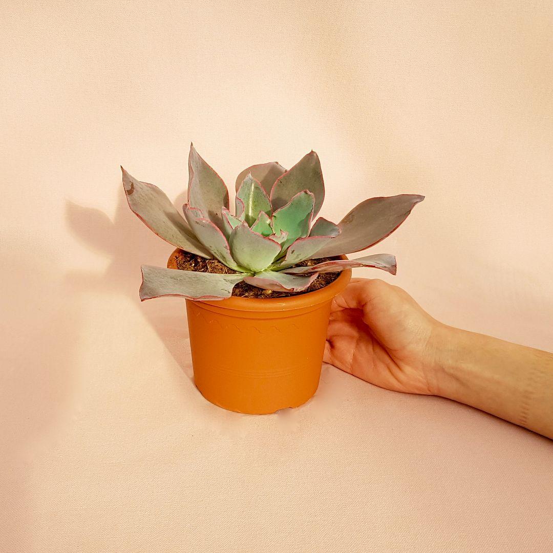 echeveria afterglow vaso 13-3