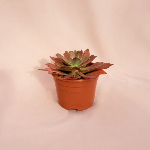 echeveria diamond state vaso 17-1