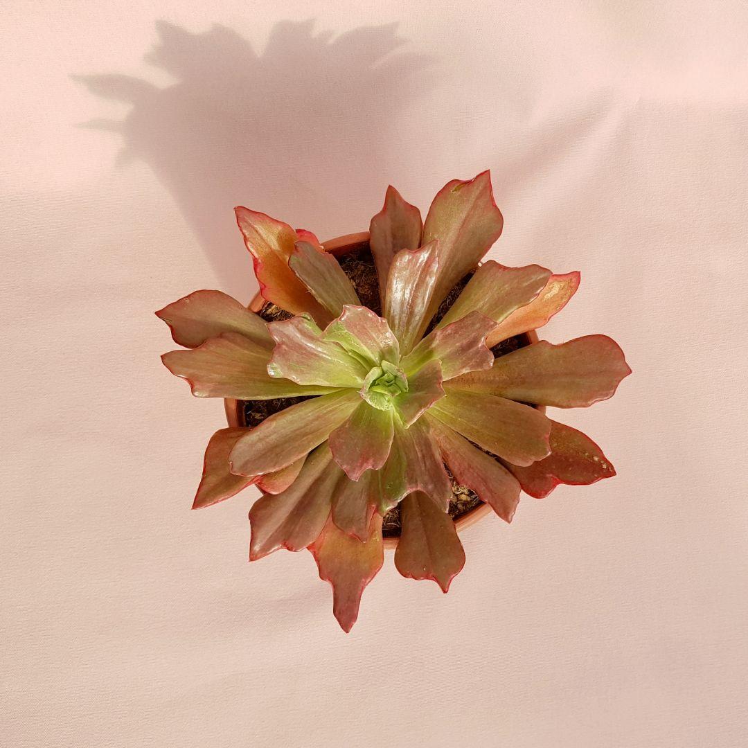 echeveria diamond state vaso 17-2