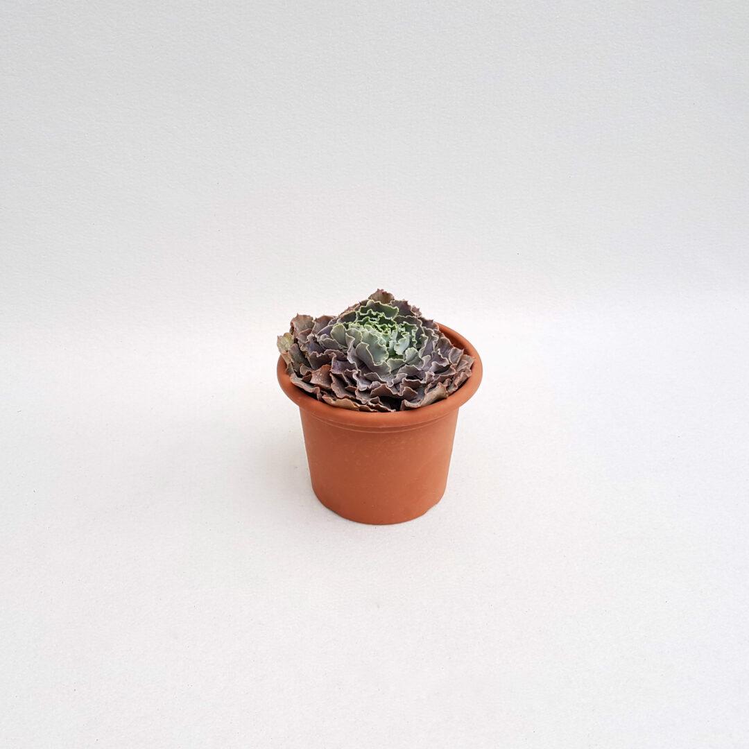 echeveria shaviana vaso 18