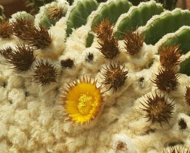 Echinocactus grusonii inermis Fiore