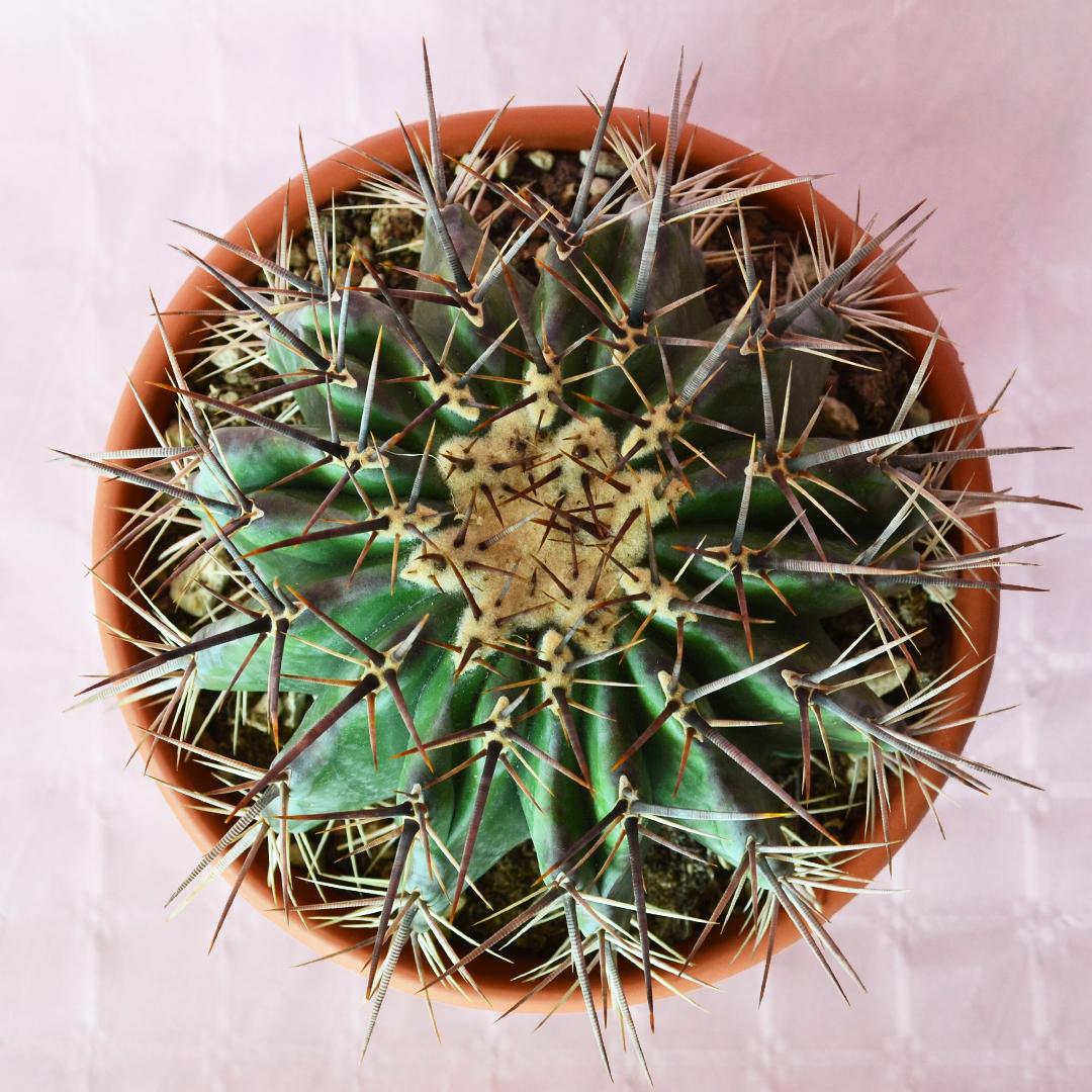 Echinocactus ingens vaso 25