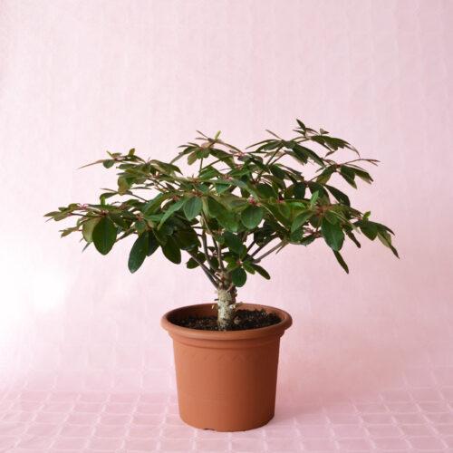Euphorbia bongolavensis vaso 20